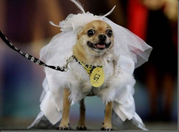 Britney, a Chihuahua, wears a gown costume during a Halloween dog show for the benefit of an animal welfare organization in Manila, Sunday, Oct. 26, 2008. (AP Photo/Aaron Favila)