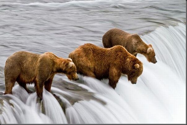 A pesca dos ursos em um rio no Alasca (8)