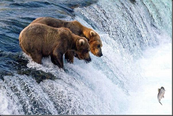 A pesca dos ursos em um rio no Alasca (7)