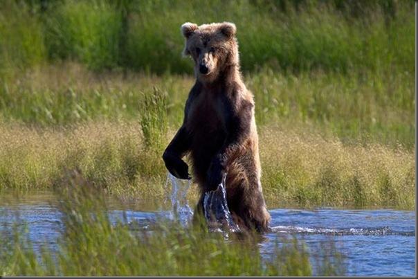 A pesca dos ursos em um rio no Alasca (14)