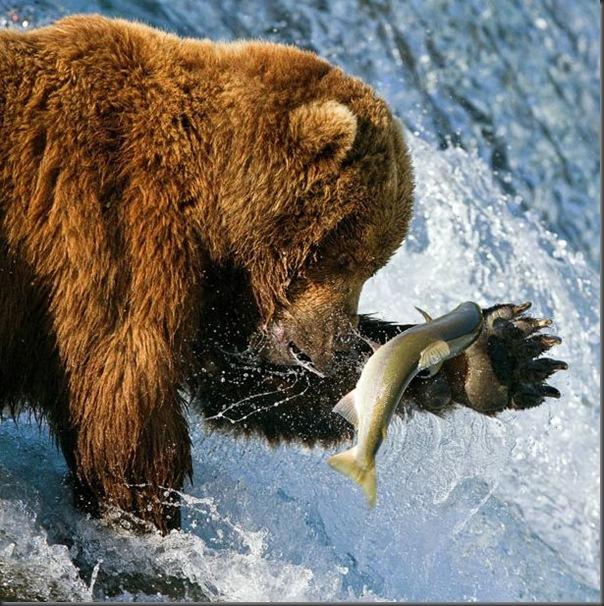 A pesca dos ursos em um rio no Alasca (1)