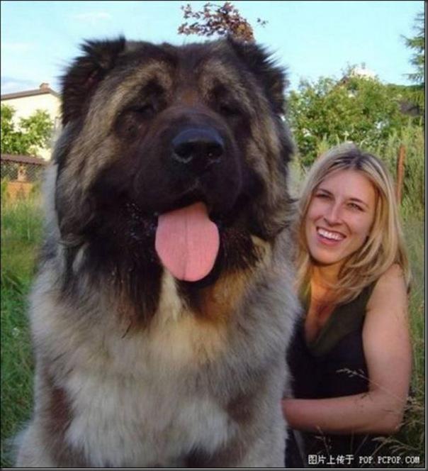 Cachorros gigantes (14)