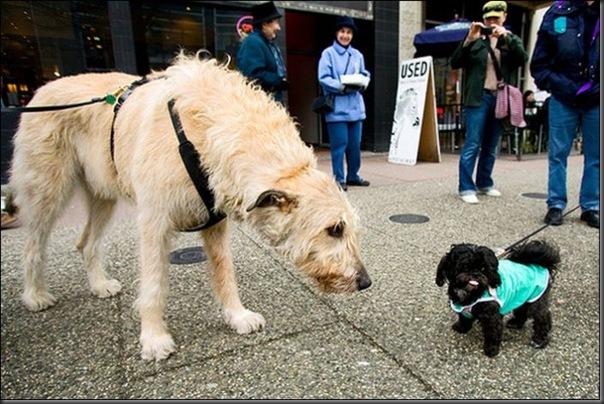 Cachorros gigantes (6)