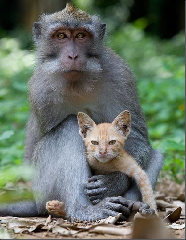 Macaco adota um gatinho (4)