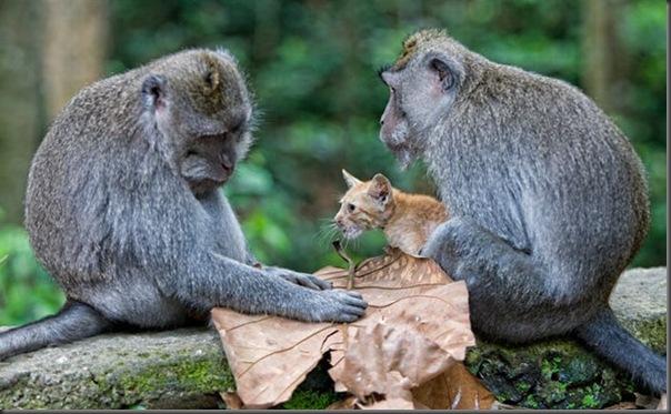 Macaco adota um gatinho (2)