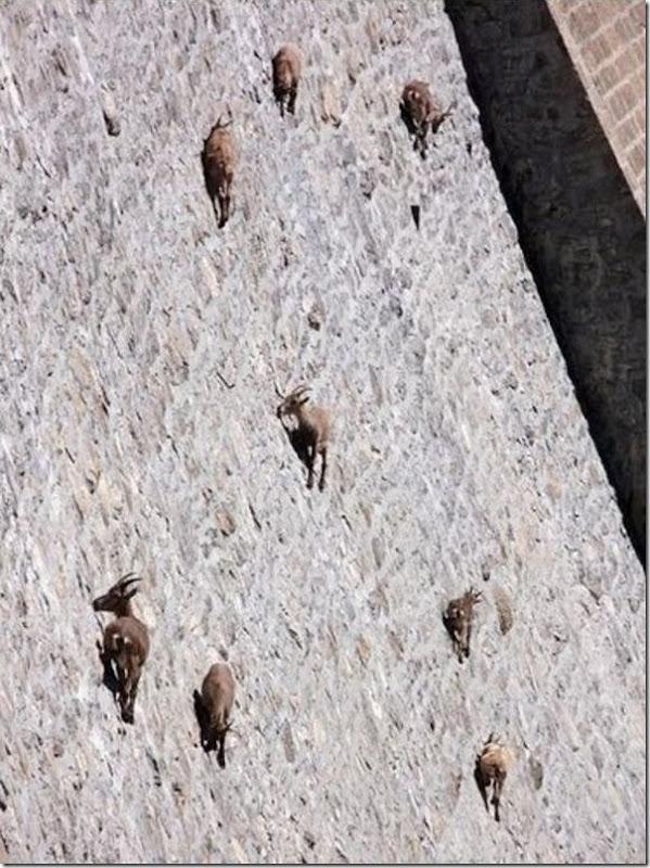 Cabras não tem medo de altura 2