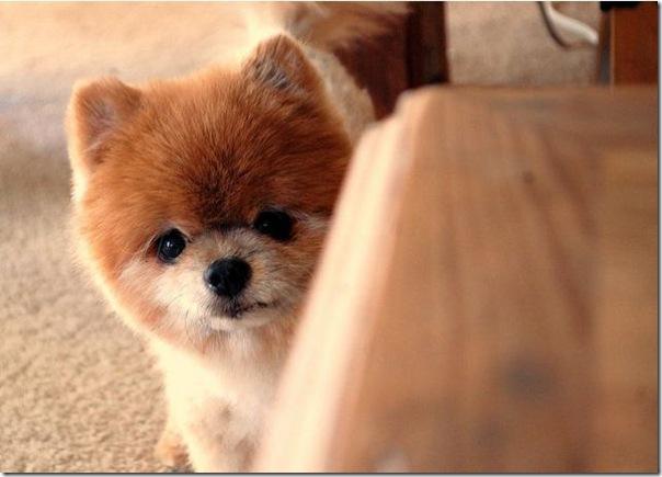 Cachorrinho mais fofo do mundo (10)
