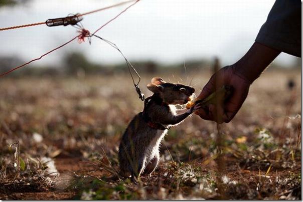 Ratos são treinados para detectar minas terrestres (10)