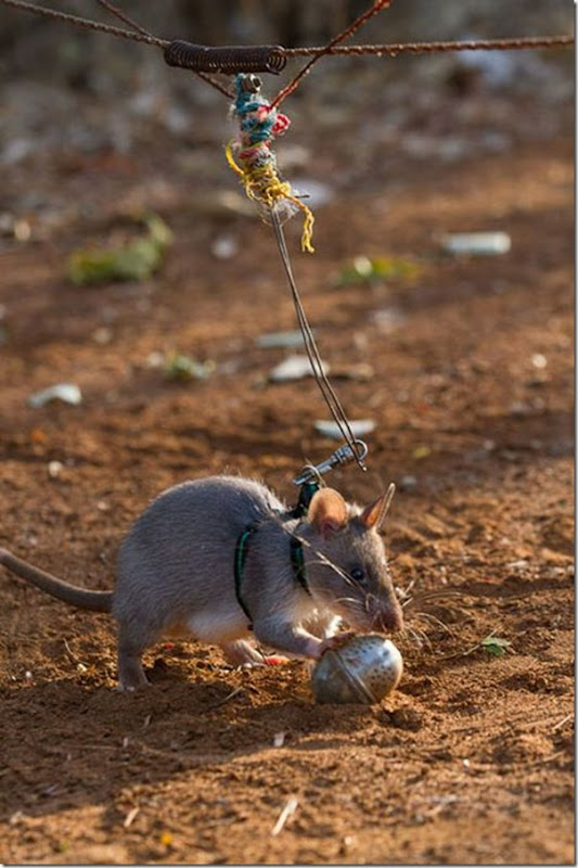 Ratos são treinados para detectar minas terrestres