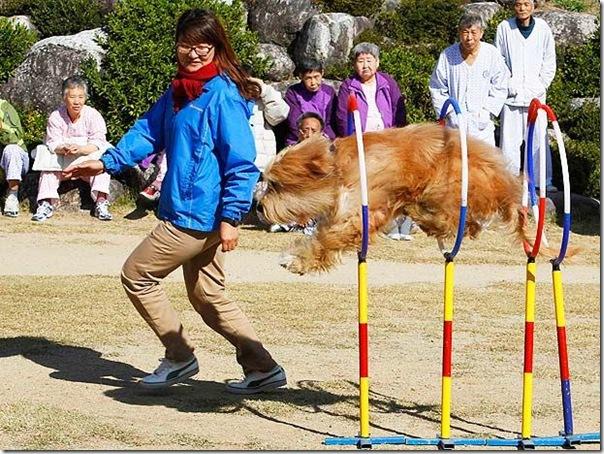 cães extintos na coreia recuperação (9)