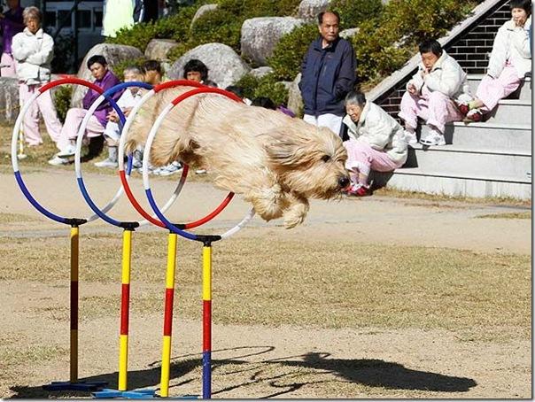 cães extintos na coreia recuperação (5)