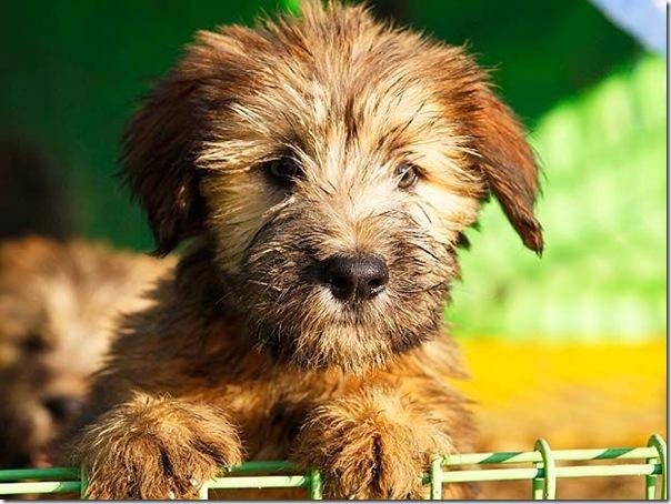 cães extintos na coreia recuperação (4)