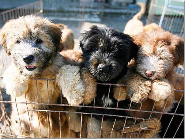 cães extintos na coreia recuperação (3)