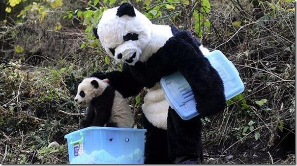 Preparando ursos bandas para a vida selvagem (2)