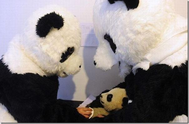 Preparando ursos bandas para a vida selvagem
