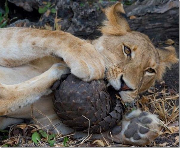 Leão tenta comer um Pangolin mas (1)