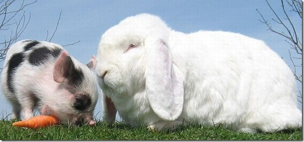 Micro porco e um coelho (3)