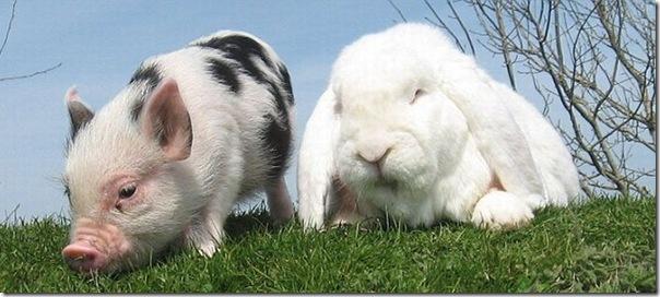 Micro porco e um coelho (1)