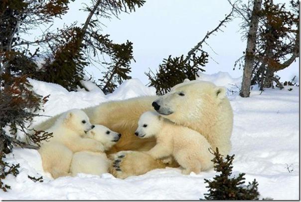 Ursa polar e seus filhotes (7)
