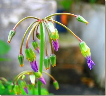 pelargonium buds