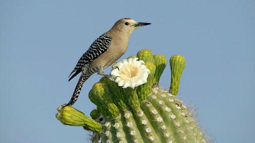 Saguaro Cactus blossom Photo