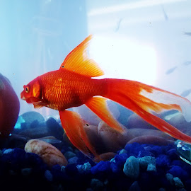 by Brittany Parks - Animals Fish ( blue, orange. color )