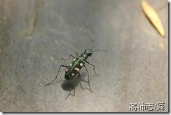 八星虎甲蟲-蔣沛志提供