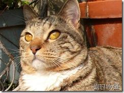 (貓)阿虎-劉冠妙提供
