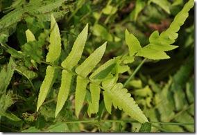 過溝菜蕨 (2)