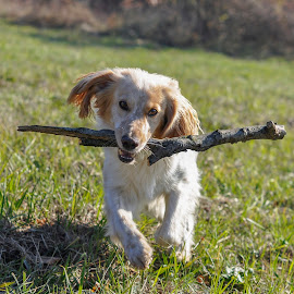 Having fun by Dubravka Krickic - Animals - Dogs Playing ( playing, stick, dog, running, cute dog )