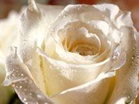 rosas (11)
