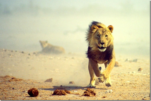 etosha_national_park_lion