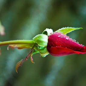Rosebud by Jamie Myers - Flowers Flower Buds ( plant, rose, rosebud, nature, red rose, baby, growing, flower )