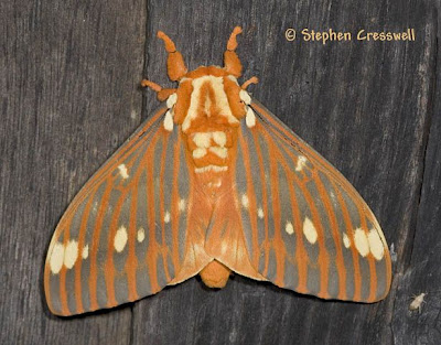 Full grown Regal Moth with a fuzzy, orange body and orange and grey striped wings