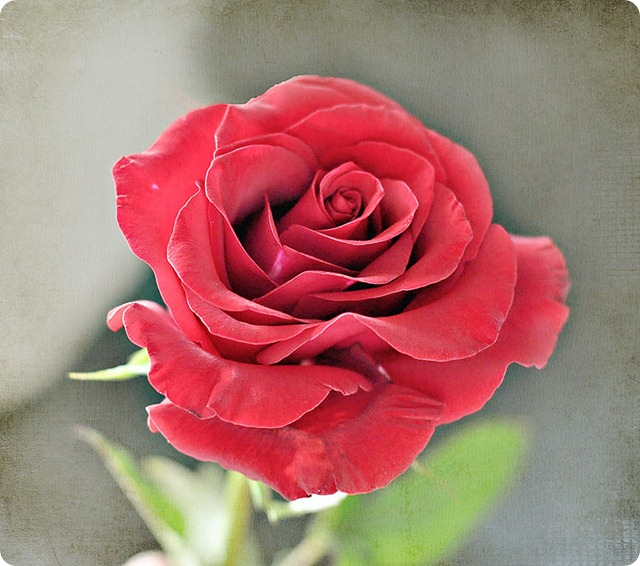 Rose-from-St.-Anne's