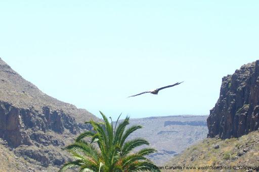 Gran Canaria vogel 2.jpg