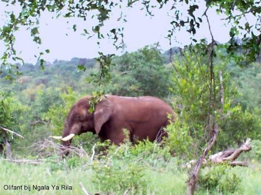 Ngala Ya Rila olifant txt.jpg