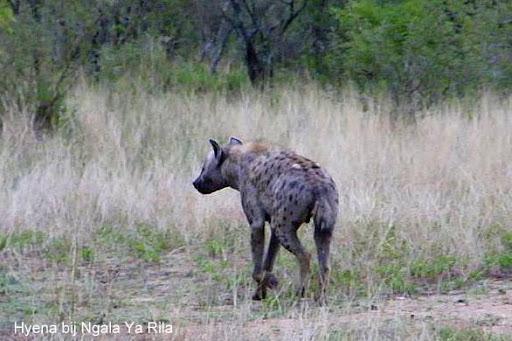 Hyena Ngala Ya Rila.jpg