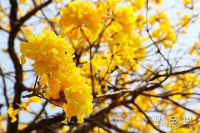 [台南-花木] 府城盡帶黃金花