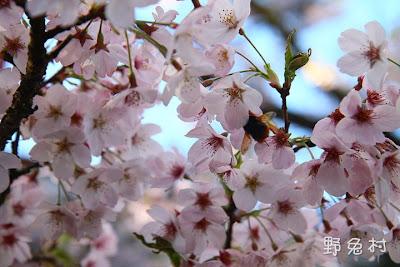 [嘉義-景點] 2011阿里山櫻花季尾聲