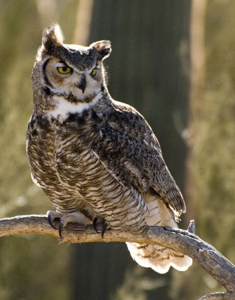 DSC_0137 small great horned owl perched raptor program onoran desert museum tucson az en az.jpg