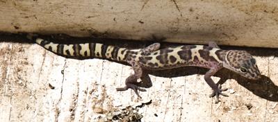 DSC_0002 banded gecko (Coleonyx variegatus) in our drop box en az.jpg