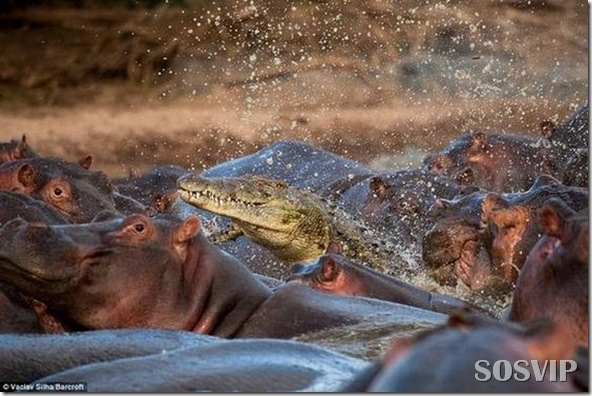 hippo-attacked-the-crocodile Crocodilo atacado Hipopótamo.jpg (1)