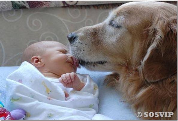 Cachorro babá a melhor babá babysitter (1)
