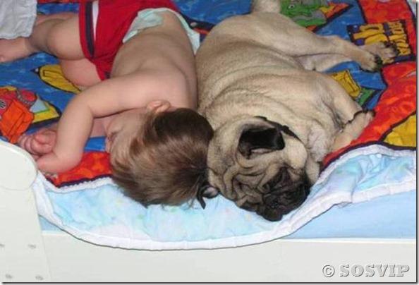 Cachorro babá a melhor babá babysitter (4)