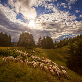 A flock of sheep at sunset by Stanislav Horacek - Landscapes Prairies, Meadows & Fields