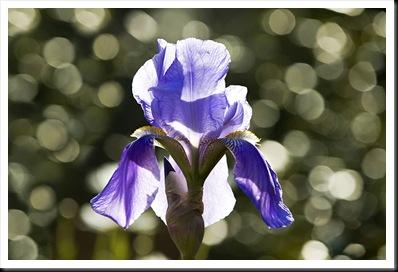Matthew_Brennan_Purple_Iris