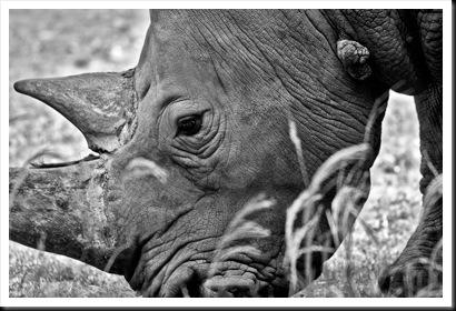 Rhino3794