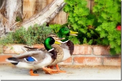 ducks2011 033