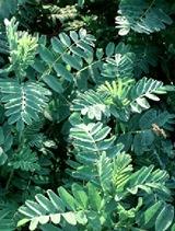 Astragalus%20membranaceus